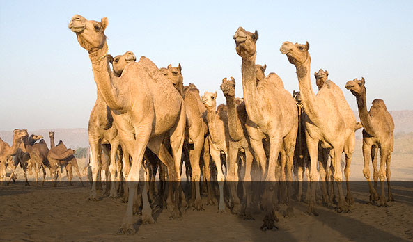 <strong >Pushkar Fair in Rajasthan</strong></br><small> Price starts from � 145. <br>valid till 2 October2014</small>